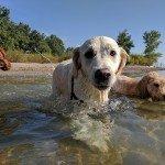 Millie taking a dip at Cherry Beach