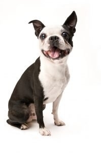 Excited Boston Terrier on White Background